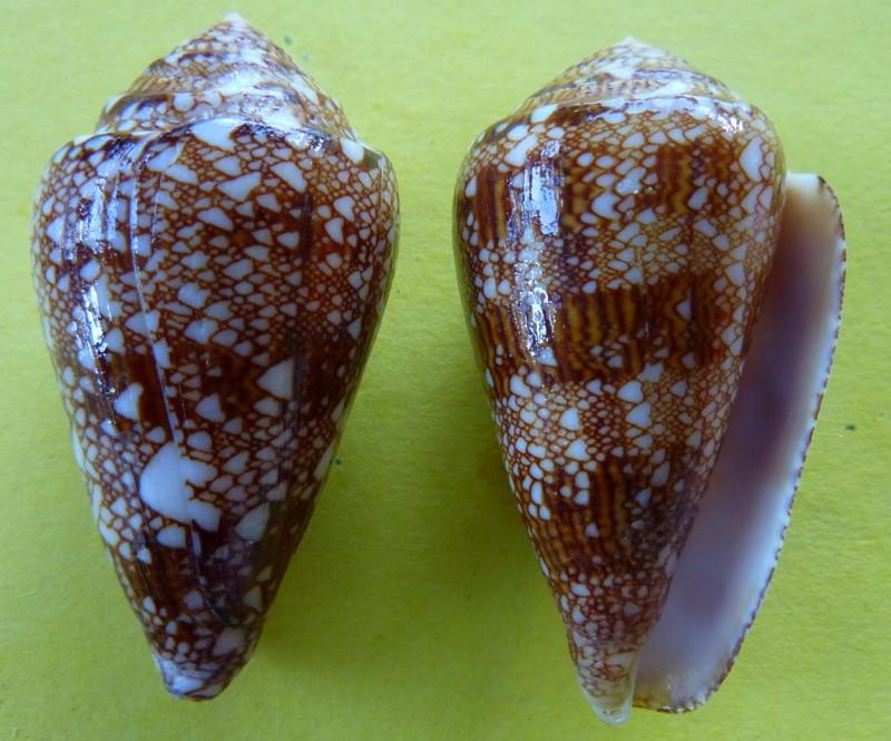 Conus (Cylinder) dalli   Stearns, 1873 P1090819