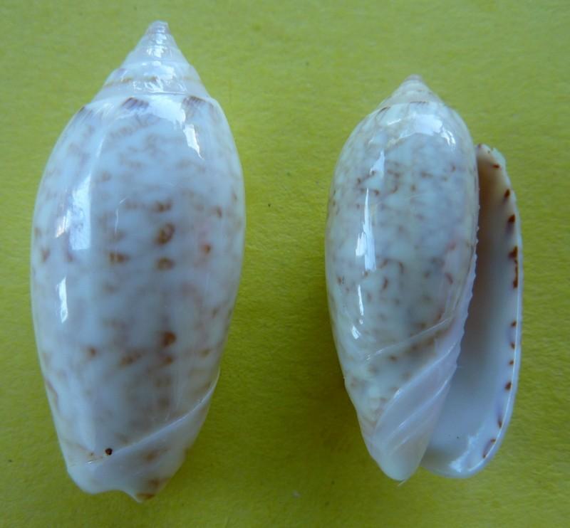 Americoliva spicata spicata (Röding, 1798) - Worms = Oliva spicata (Röding, 1798) P1090821