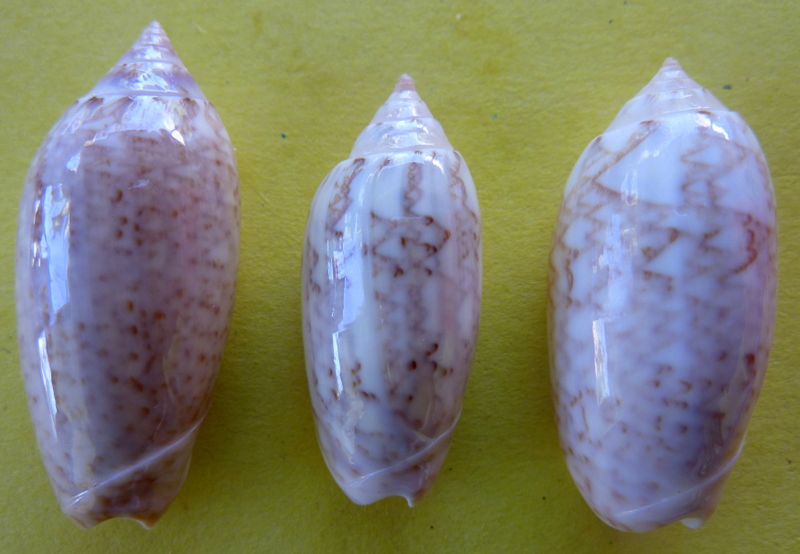 Americoliva spicata spicata (Röding, 1798) - Worms = Oliva spicata (Röding, 1798) P1090822