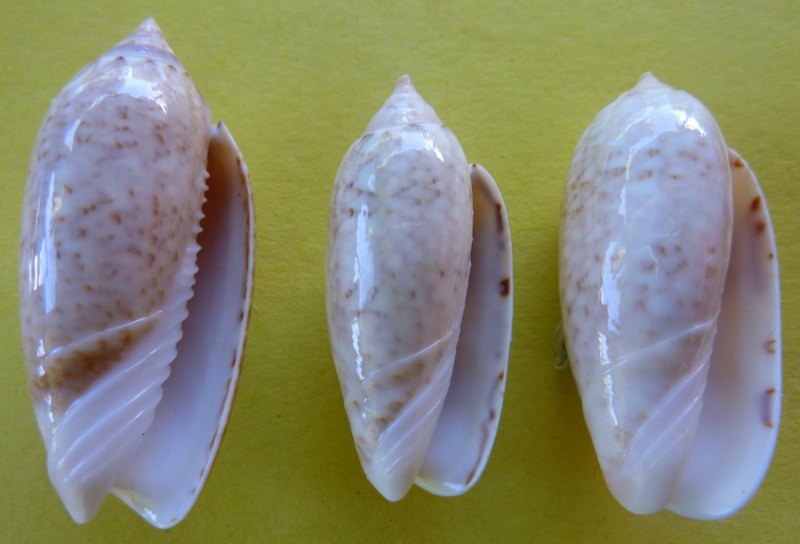 Americoliva spicata spicata (Röding, 1798) - Worms = Oliva spicata (Röding, 1798) P1090823