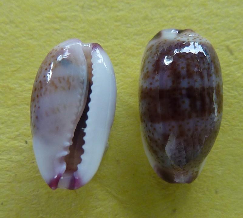 Purpuradusta fimbriata - (Gmelin, 1791) - Live P1090840