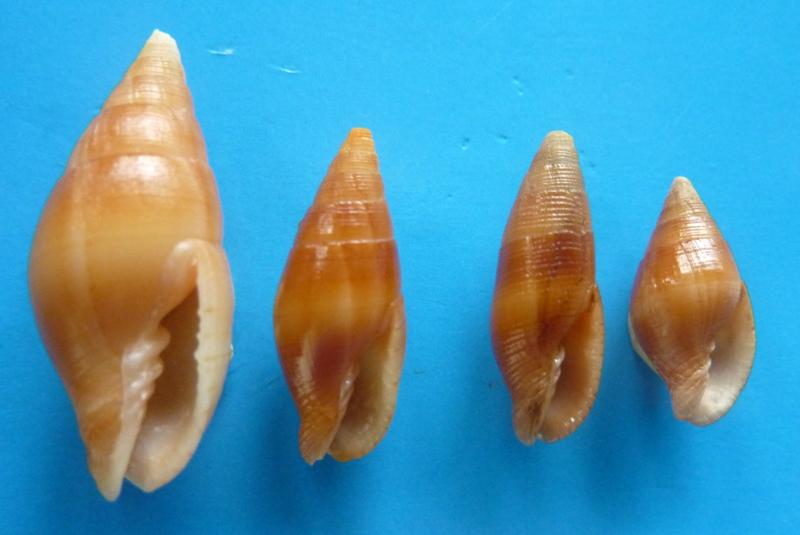 Strigatella obliqua - Lesson, 1842 P1090910