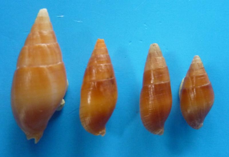 Strigatella obliqua - Lesson, 1842 P1090911