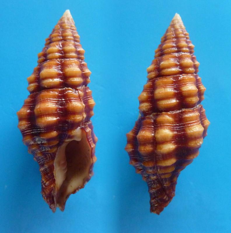 Turrilatirus sanguifluus - (Reeve, 1847) Turril10