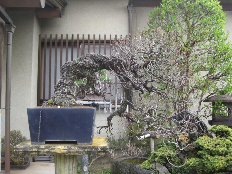 Bonsai Trip To Japan, April 2012 Img_0015