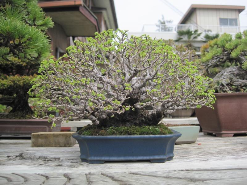 Bonsai Trip To Japan, April 2012 Img_0078