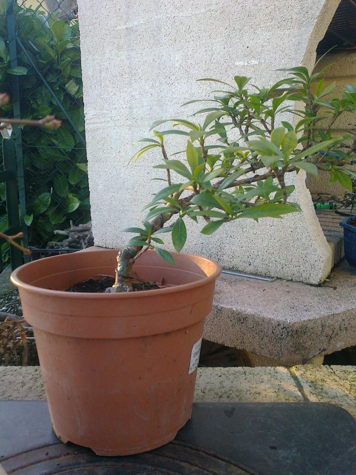 gardenia a piccole foglie - Pagina 2 Garden10