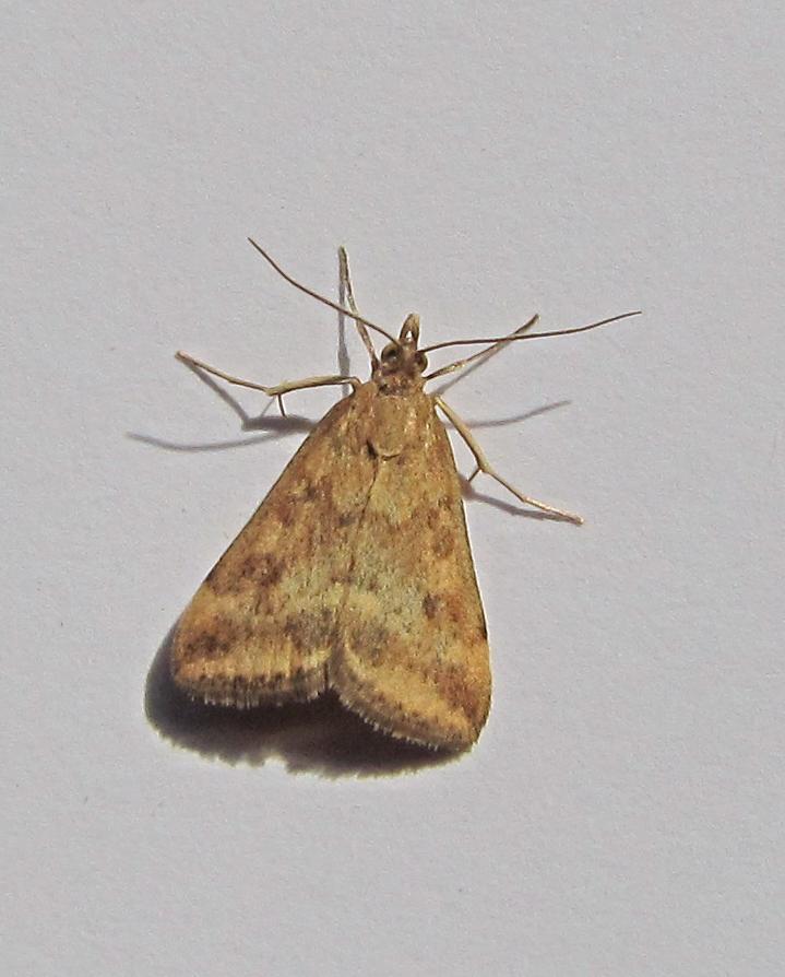 micros à Kerharo : Epinotia thapsiana, Pyrausta despicata Avsp1b10