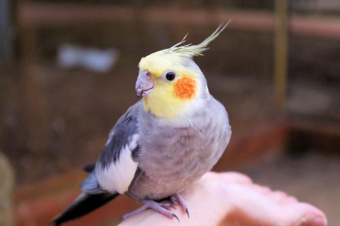 Pássaro Calopsita: 8 coisas que deve saber antes de comprar um Minha_10