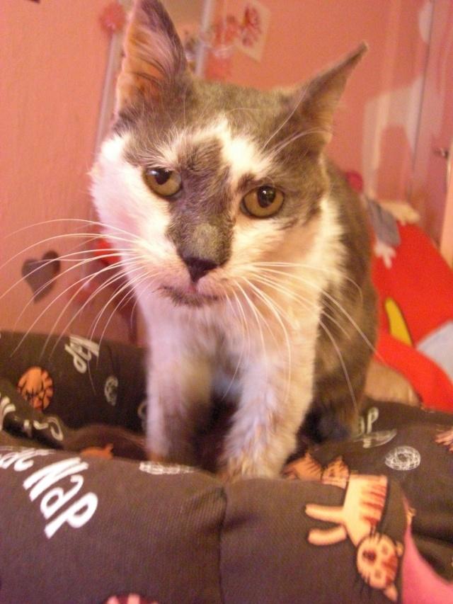 Maousse, mâle gris et blanc né en 2006, Nancy (54) Cimg5510