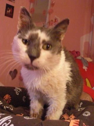 Maousse, mâle gris et blanc né en 2006, Nancy (54) Cimg5511