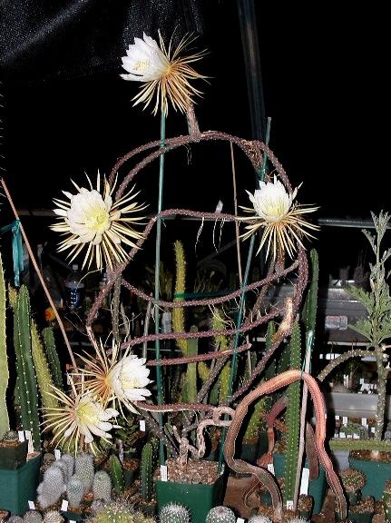 Selenicereus donkelaarii Dscf0010
