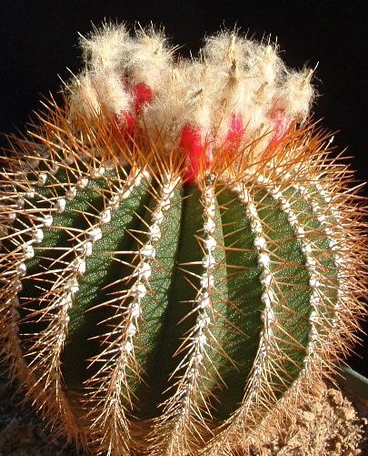 Uebelmannia flavispina Dscf0033