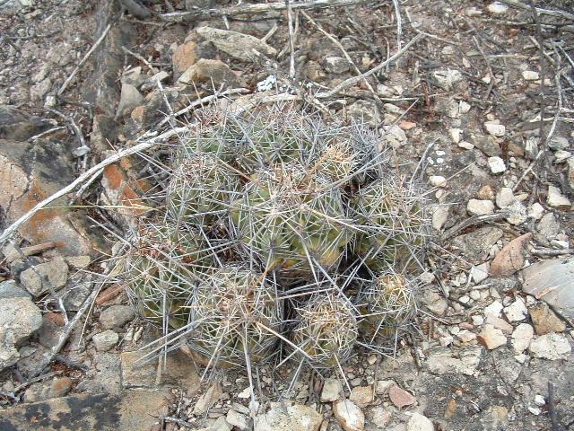 Thelocactus leucacanthus ssp. leucacanthus Dscf0310