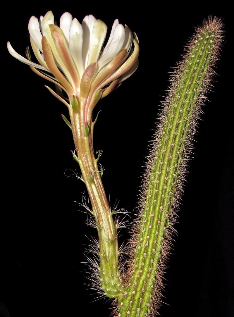 Peniocereus serpentinus Img_0513