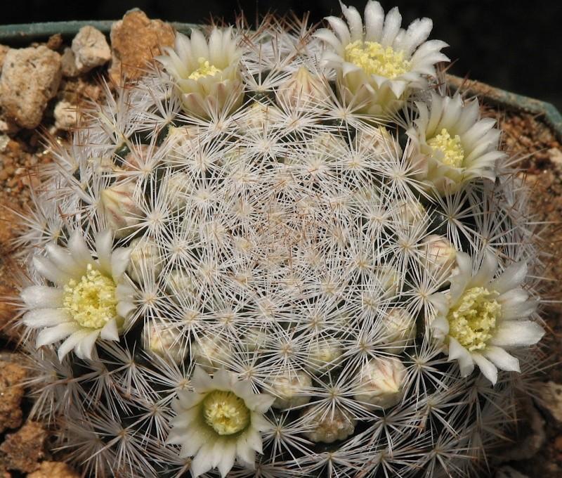Mammillaria brachytrichion Img_1511