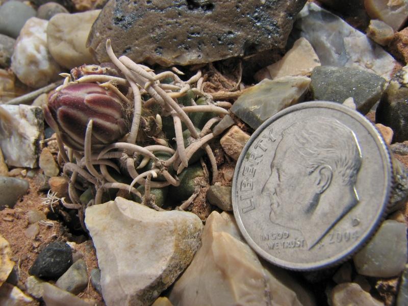 Pediocactus peeblesianus Img_1810