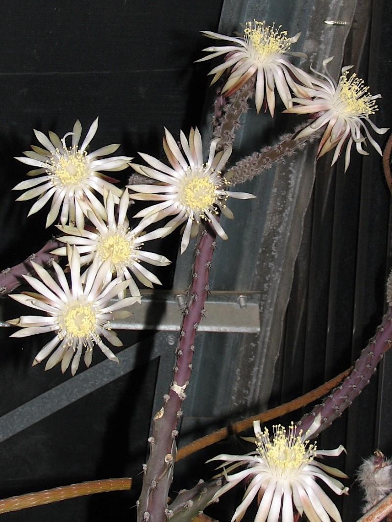 Peniocereus marianus Img_3210