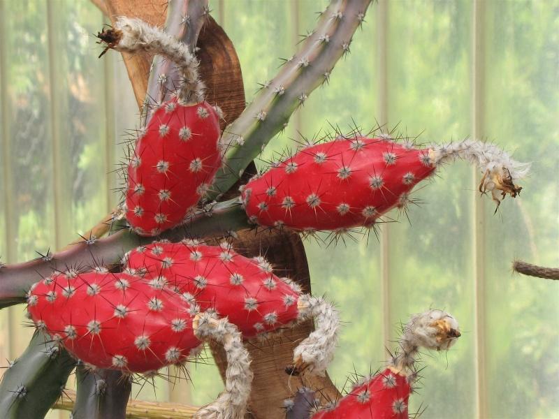 Peniocereus marianus Img_4012