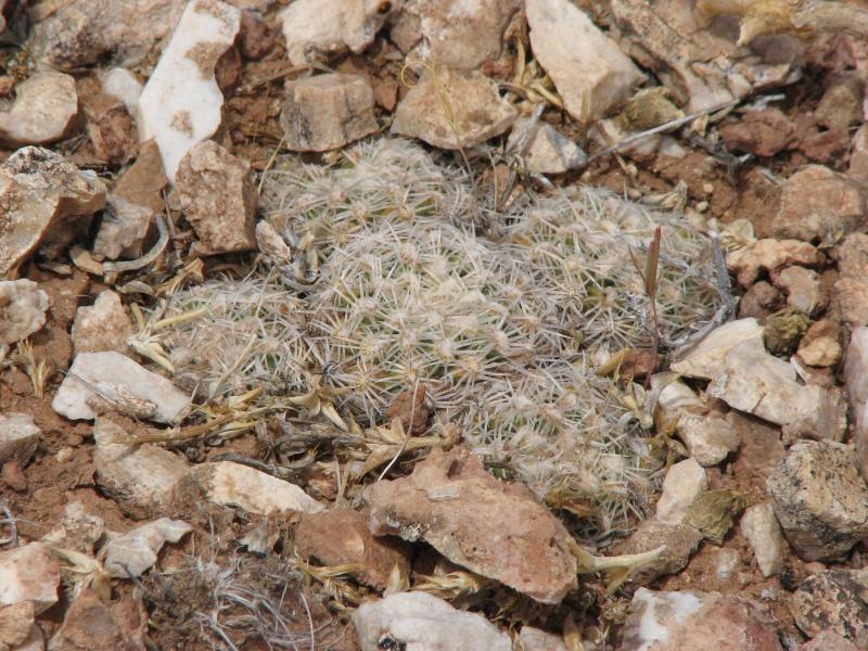 Pediocactus bradyii Img_7114