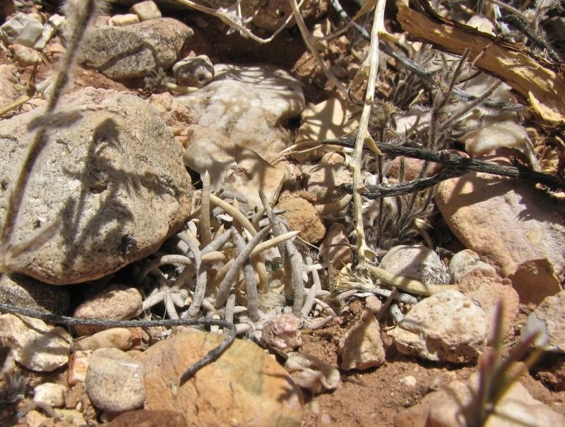 Pediocactus peeblesianus ssp. fickeisenii  Img_7116