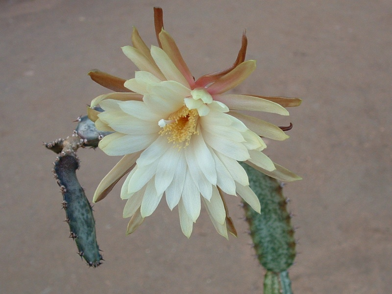 Peniocereus fosterianus ssp. nizandensis Jm000014