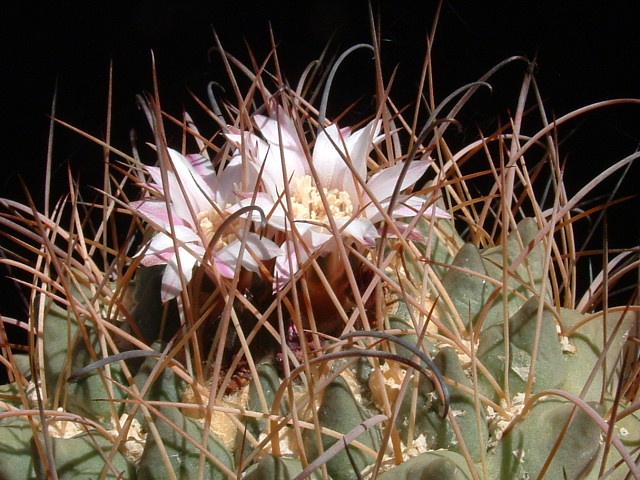 Neowerdermannia vorwerkii Neower10