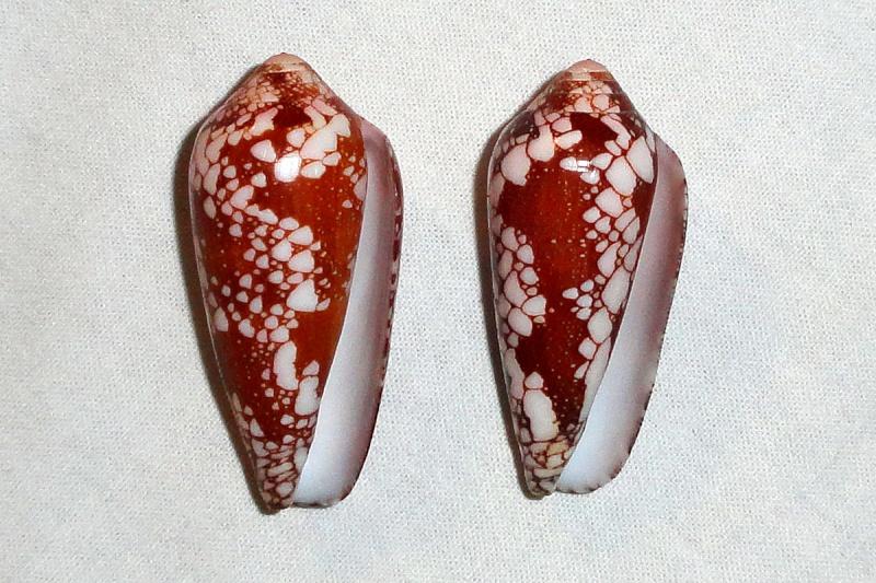 Conus (Darioconus) magnificus   Reeve, 1843 - Page 3 2_conu12