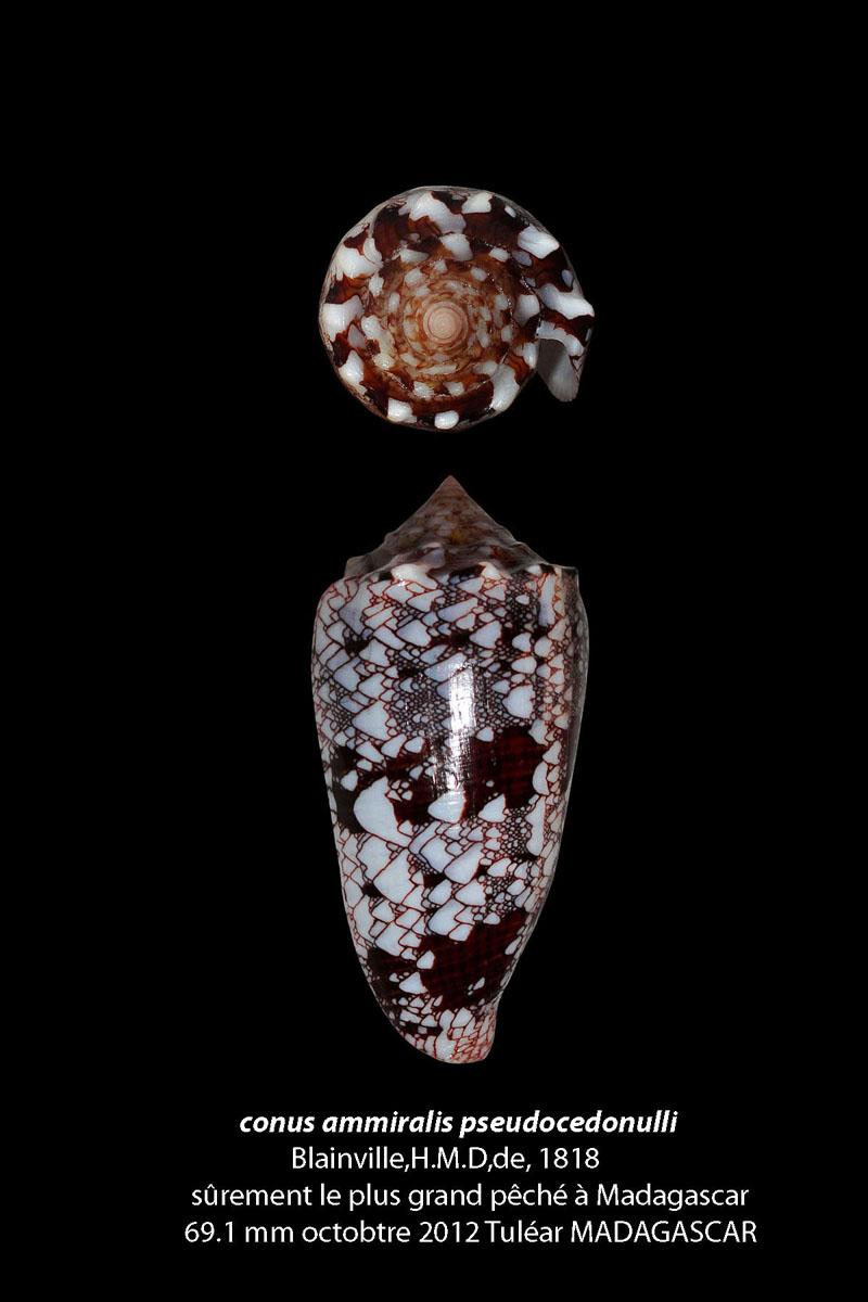 Conus (Cylinder) pseudocedonulli   Blainville, 1818 Conus_10