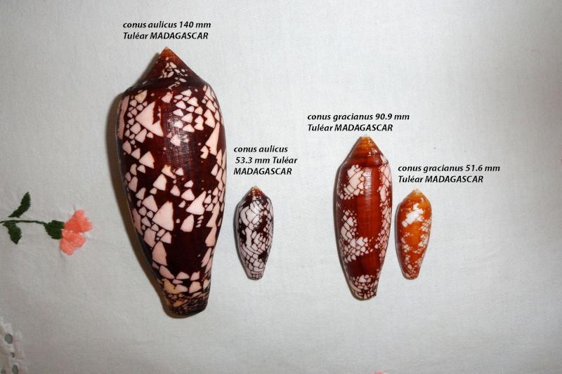 Conus (Darioconus) aulicus   Linnaeus, 1758 - Page 3 Conus_12