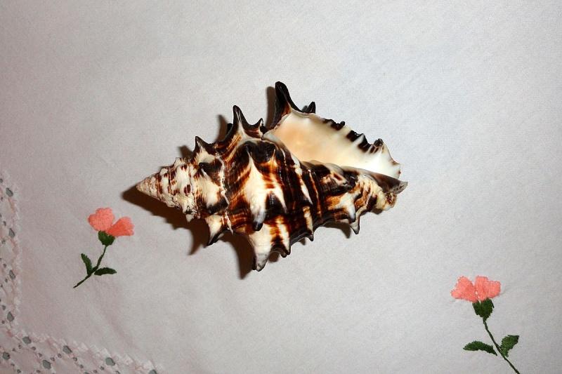 Vasum ceramicum - (Linnaeus, 1758) Vasum_11