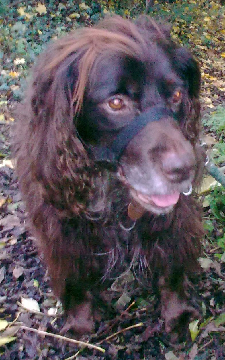 Denzel - Working Cocker Spaniel, Dog (5 Years)  - Page 3 Image016