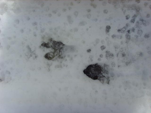empreintes dans la neige Ssl21519