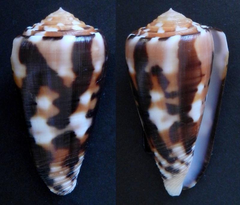 Conus (Pionoconus) barthelemyi  Bernardi, 1861 - Page 5 51411