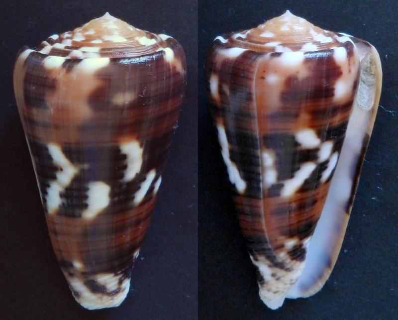 Conus (Pionoconus) barthelemyi  Bernardi, 1861 - Page 5 558_210