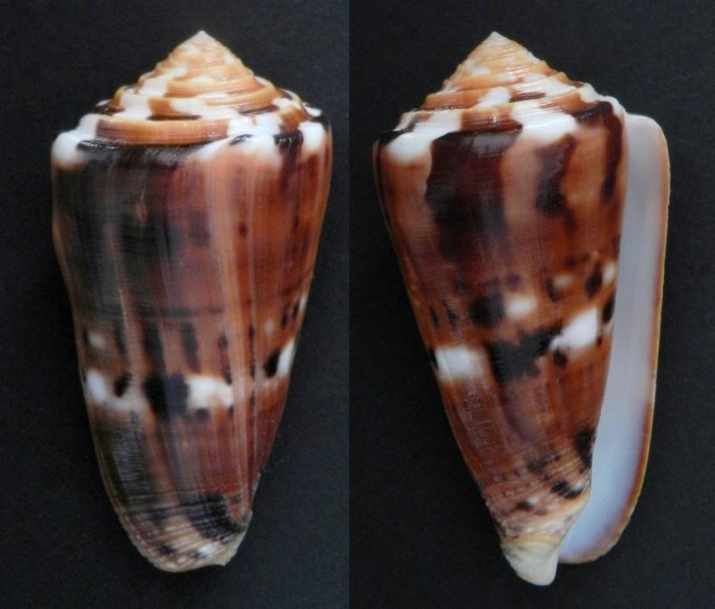 Conus (Pionoconus) barthelemyi  Bernardi, 1861 - Page 5 66610