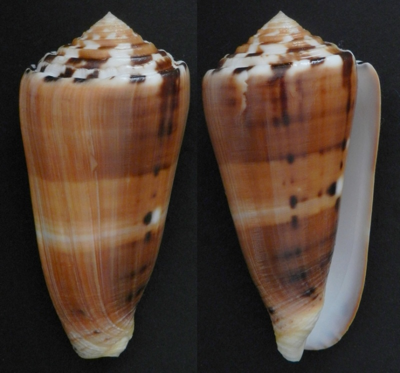 Conus (Pionoconus) barthelemyi  Bernardi, 1861 - Page 5 83310