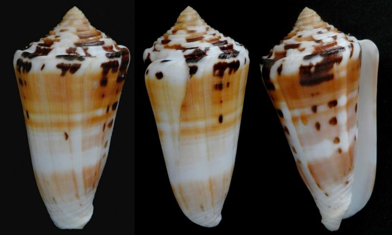 Conus (Pionoconus) barthelemyi  Bernardi, 1861 - Page 5 86510