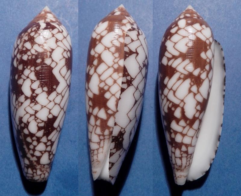 Conus (Darioconus) auricomus   Hwass in Bruguière, 1792 Aulicu10