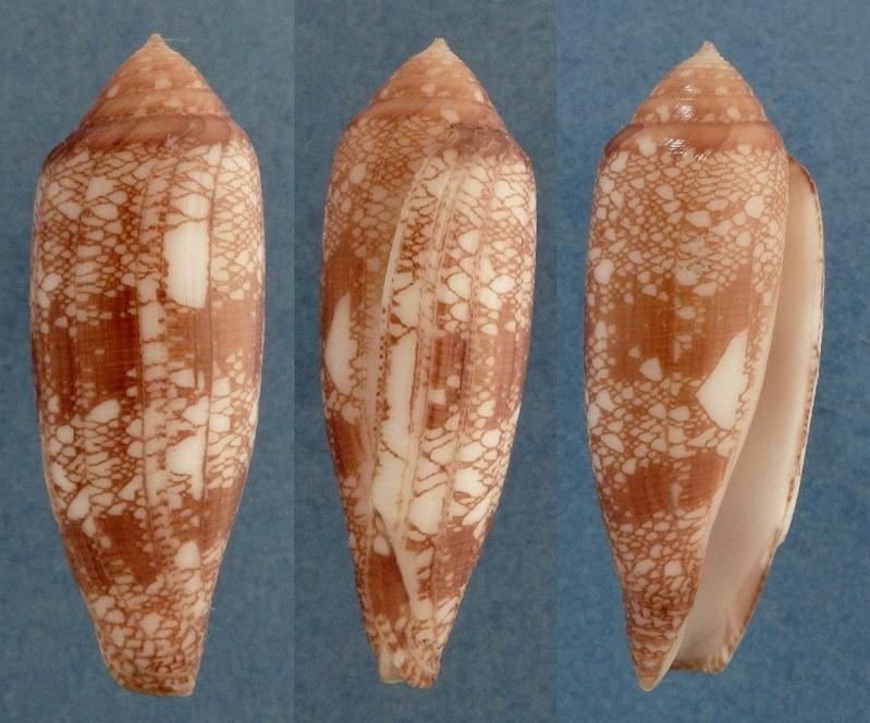 Conus (Darioconus) auricomus   Hwass in Bruguière, 1792 Aurico10
