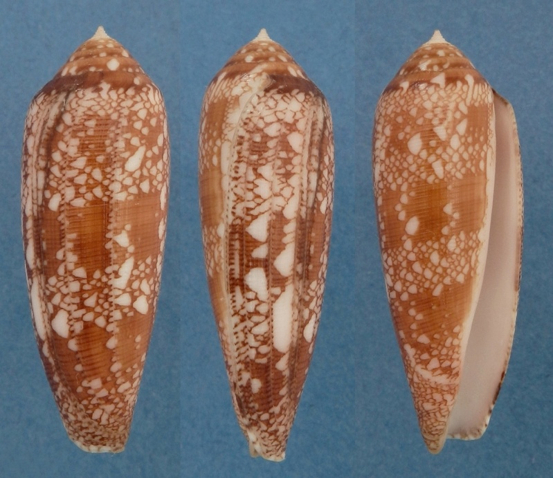 Conus (Darioconus) auricomus   Hwass in Bruguière, 1792 Aurico11