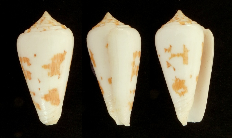 Conus (Pionoconus) gubernator terminus  Lamarck, 1810 Gubern10