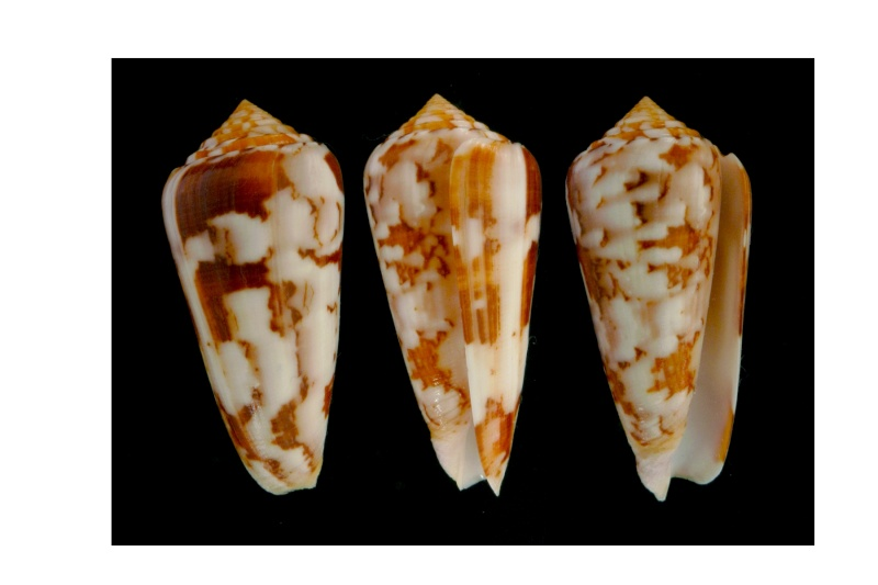 Conus (Pionoconus) gubernator terminus  Lamarck, 1810 Gubern12