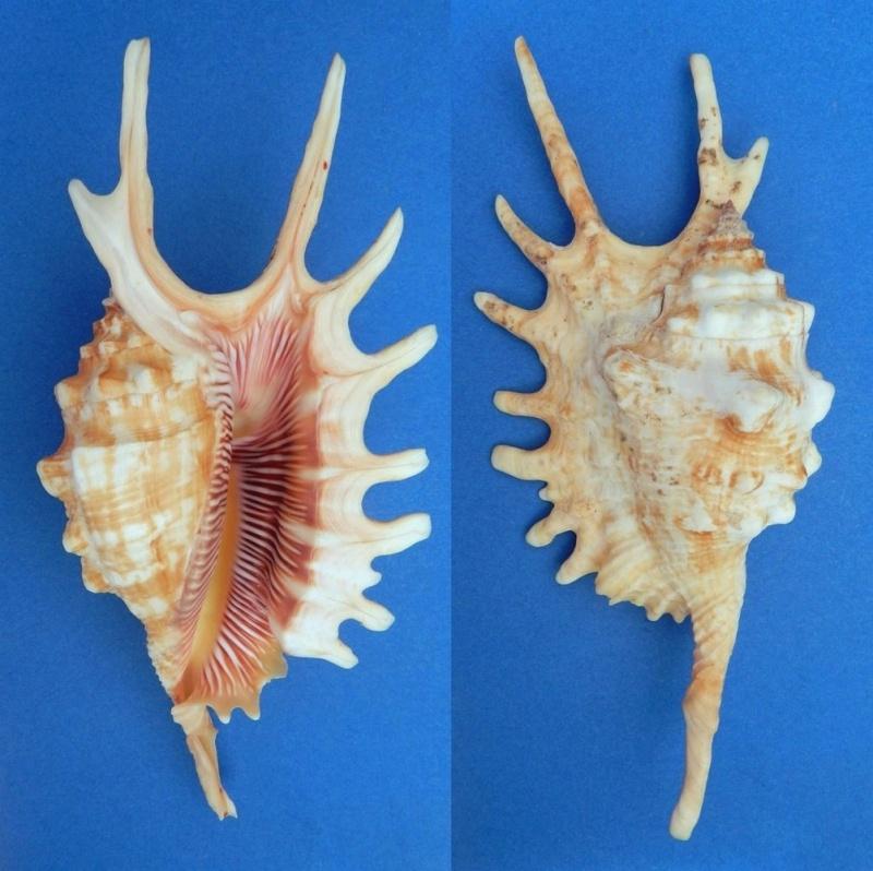 Strombidae Ophioglossolambis digitata - (Perry, 1811)  Lambis10