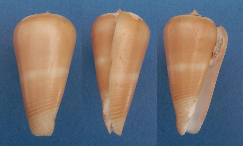 Conus (Pionoconus) leehmani da Motta & Röckel, 1982 Conus (Pio.) gubernator Leehma10