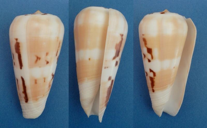 Conus (Pionoconus) leehmani da Motta & Röckel, 1982 Conus (Pio.) gubernator Leehma12