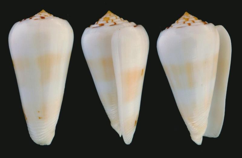 Conus (Pionoconus) leehmani da Motta & Röckel, 1982 Conus (Pio.) gubernator Leehma13