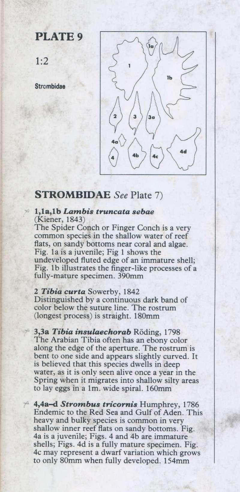 Strombidae Tricornis tricornis - ([Lightfoot], 1786) - Page 2 Red_se11