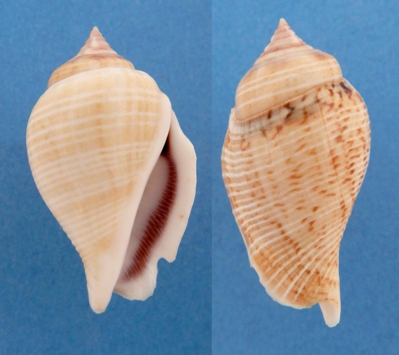 Gibberulus gibberulus gibberulus - (Linnaeus, 1758)  St_gib10