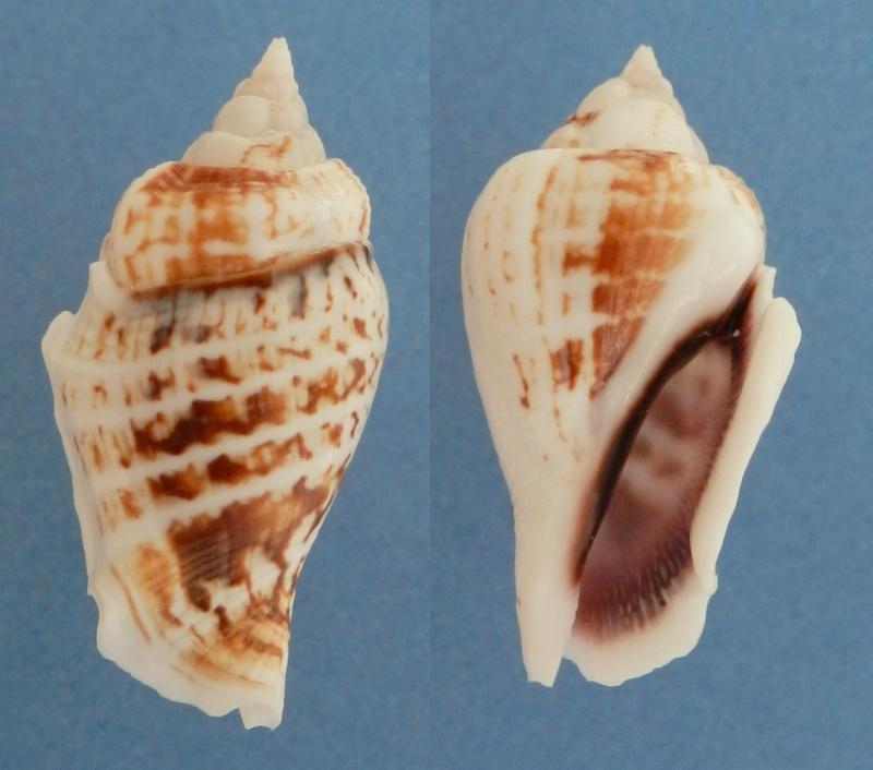 Gibberulus gibberulus gibberulus - (Linnaeus, 1758)  St_gib11